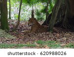 Jaguar Resting In The Shade Of...