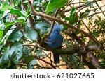 Western Crowned Pigeon  Goura...