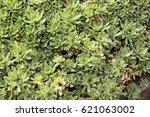 Small photo of Alpine Saxifrage saxifraga paniculata group