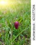 Purple Wild Tulip  Fritillaria...