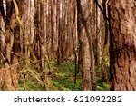 pine forest grove. silence and... | Shutterstock . vector #621092282