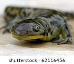 Small photo of Blotched Tiger Salamander (Ambystoma mavortium melanostictum)