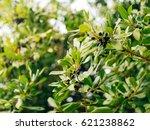 leaves of laurel and berries on ... | Shutterstock . vector #621238862