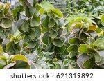 Small photo of Euphorbiaceae. Acalypha wilkesiana