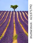 lavender field and olive tree... | Shutterstock . vector #621371792