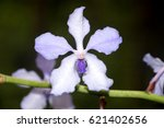 orchid of assam  india | Shutterstock . vector #621402656