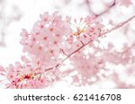 spring cherry blossoms in japan ... | Shutterstock . vector #621416708