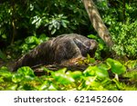 giant anteater | Shutterstock . vector #621452606