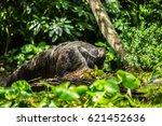 giant anteater | Shutterstock . vector #621452636