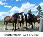 Clydesdale Horses Resting...