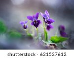 Small photo of Violet Viola odorata