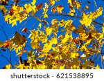maple colorful leafs in winter... | Shutterstock . vector #621538895