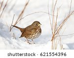 Fox Sparrow And Snow At...