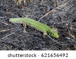 Small photo of An ordinary quick green lizard. Lizard on the ground amidst ash and ash after a fire. Sand lizard, lacertid.