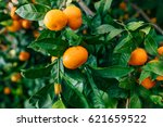 orange mandarin on the tree.... | Shutterstock . vector #621659522