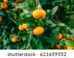 Orange Mandarin On The Tree....