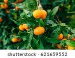 Orange Mandarin On The Tree....