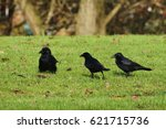 Three Black Ravens On Green...