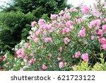 Beautiful Oleander Flowers...