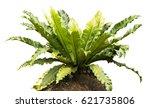 bird's nest fern isolated on... | Shutterstock . vector #621735806