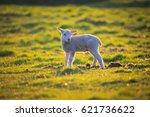 Lamb Lit With Golden Light At...