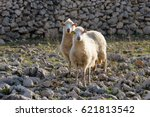 flock of sheep on pasture   two ...
