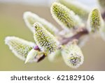 willow blossoms in spring sunny