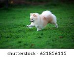 Pomeranian Run In Grass Field ...