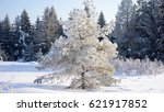 A Pine Covered With Snow And...