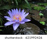 Purple Water Lily And Lily Pad...