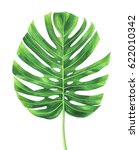 tropical leaf of monstera plant ... | Shutterstock . vector #622010342