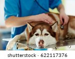medical treatment of sick husky ... | Shutterstock . vector #622117376