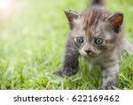 Stock photo kitten walk on green grass 622169462