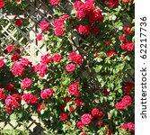 Stock photo red roses on fence 62217736