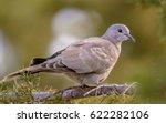 juvenile eurasian collared dove ... | Shutterstock . vector #622282106