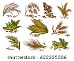cereals and grain plants vector ... | Shutterstock .eps vector #622335206