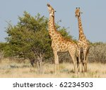 two browsing giraffes | Shutterstock . vector #62234503