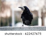 Small photo of Raven / crow portrait in urban environment / city of Zagreb, Croatia