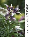 Small photo of 'Netty's Pride' - Asiatic Hybrid Lily Bulb. A unique dark purple blossoms with white heart tips.
