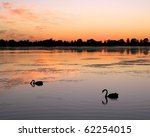 Black Swans  Cygnus Atratus  On ...