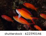 flame anthias show fin for... | Shutterstock . vector #622590146