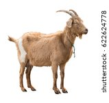 Adult red goat with horns and...