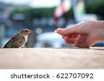 Feeding Young Sparrow  Passer...