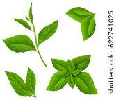fresh green tea sprig and mint... | Shutterstock .eps vector #622741025