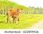 cow in the farm of thailand is... | Shutterstock . vector #622859426