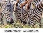 Close Up Zebras Grazing Grass...