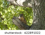 A Fox Squirrel Sits On A Branc...