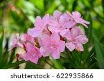 Nerium  Oleander  Sweet...