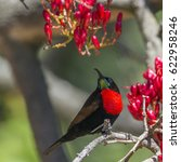 Small photo of Scarlet-chested sunbird in Kruger national park, South Africa ; Specie Chalcomitra senegalensis family of Nectariniidae