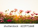 pink and red cosmos flowers in... | Shutterstock . vector #622971668